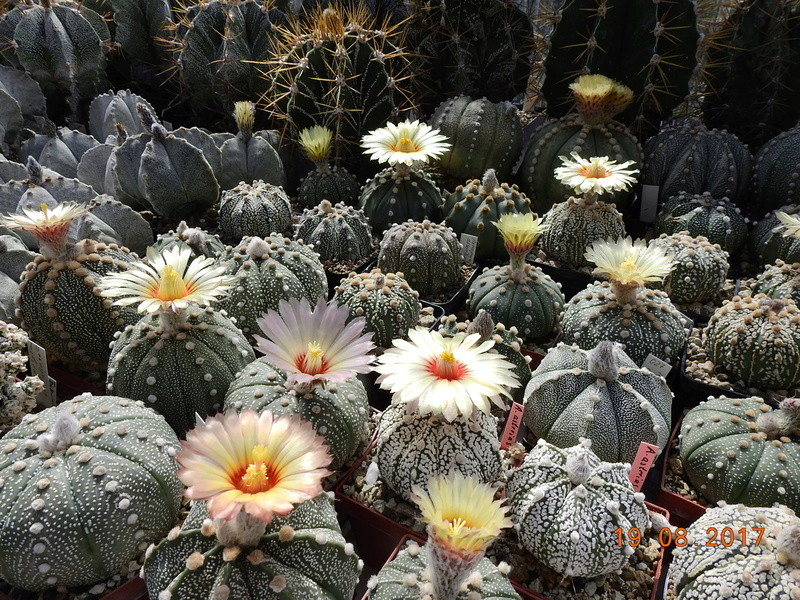Cacti and Sukkulent in Köln, every day new flowers in the greenhouse Part 172 Bild2001