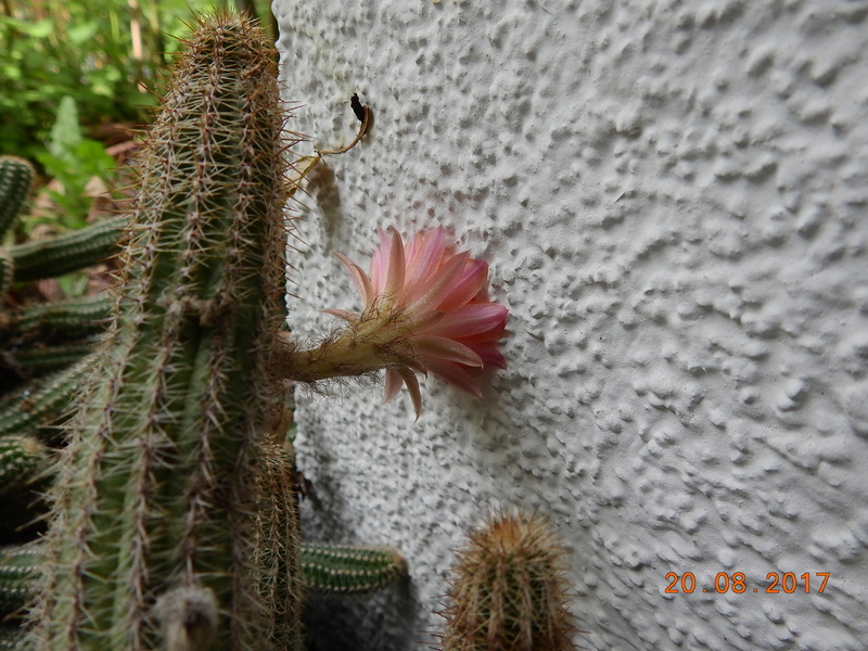 Cacti and Sukkulent in Köln, every day new flowers in the greenhouse Part 172 Bild2011