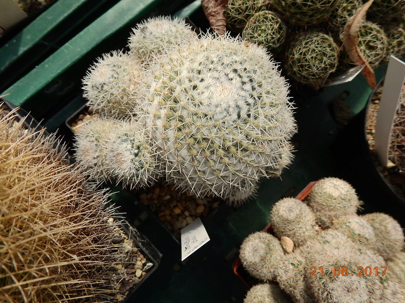 Mammillaria - New & Again - a new book by John Pilbeam Bild2024
