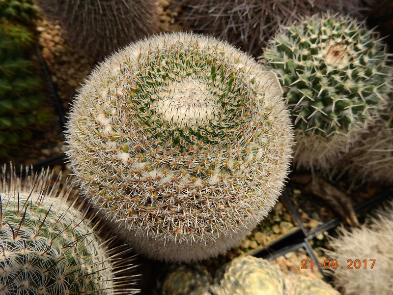 Mammillaria - New & Again - a new book by John Pilbeam Bild2030