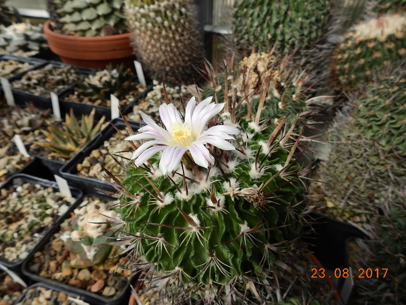 Cacti and Sukkulent in Köln, every day new flowers in the greenhouse Part 172 Bild2036