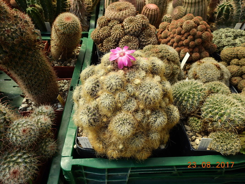Cacti and Sukkulent in Köln, every day new flowers in the greenhouse Part 172 Bild2039