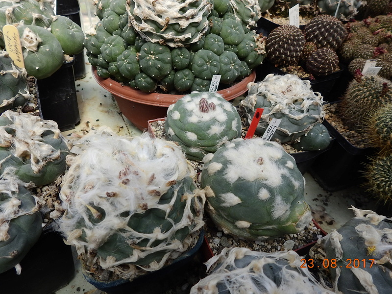 Cacti and Sukkulent in Köln, every day new flowers in the greenhouse Part 172 Bild2046