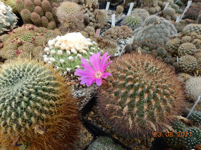 Cacti and Sukkulent in Köln, every day new flowers in the greenhouse Part 172 Bild2048