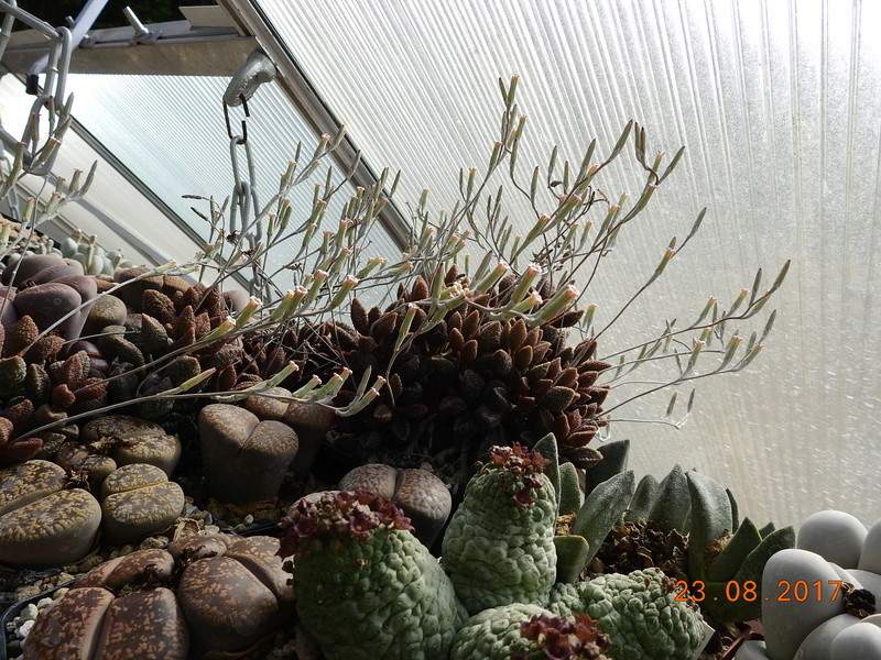 Cacti and Sukkulent in Köln, every day new flowers in the greenhouse Part 172 Bild2063