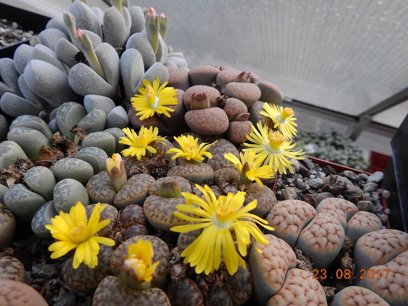 Cacti and Sukkulent in Köln, every day new flowers in the greenhouse Part 172 Bild2066