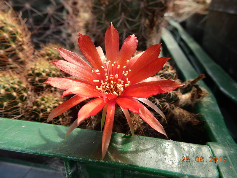 Cacti and Sukkulent in Köln, every day new flowers in the greenhouse Part 172 Bild2075