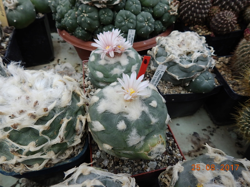 Cacti and Sukkulent in Köln, every day new flowers in the greenhouse Part 172 Bild2079