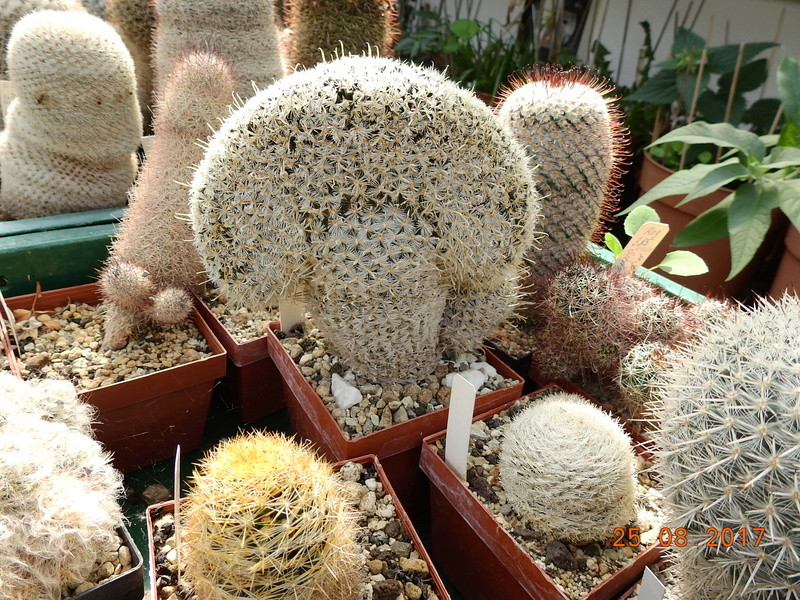 Cacti and Sukkulent in Köln, every day new flowers in the greenhouse Part 172 Bild2080