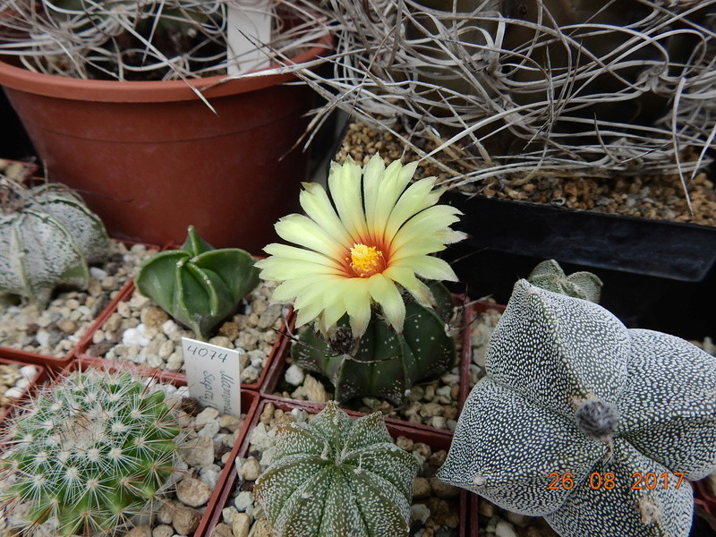 Cacti and Sukkulent in Köln, every day new flowers in the greenhouse Part 172 Bild2084