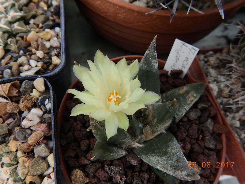 Cacti and Sukkulent in Köln, every day new flowers in the greenhouse Part 172 Bild2088