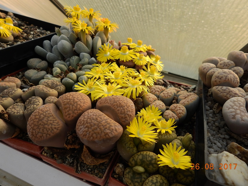 Cacti and Sukkulent in Köln, every day new flowers in the greenhouse Part 172 Bild2096