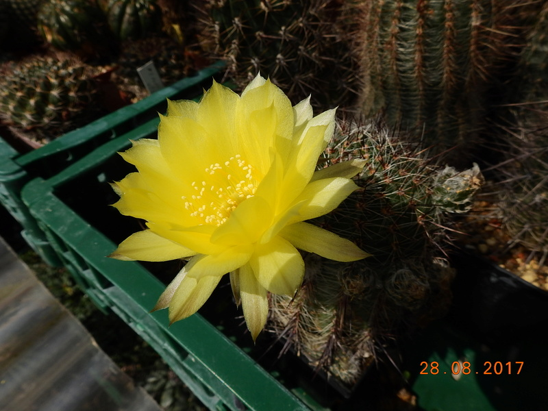 Cacti and Sukkulent in Köln, every day new flowers in the greenhouse Part 172 Bild2102