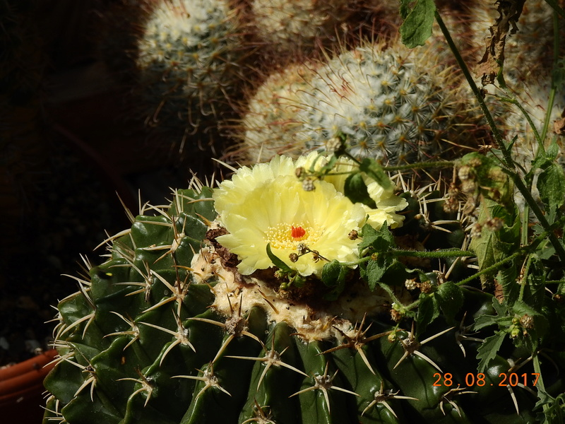Cacti and Sukkulent in Köln, every day new flowers in the greenhouse Part 172 Bild2114