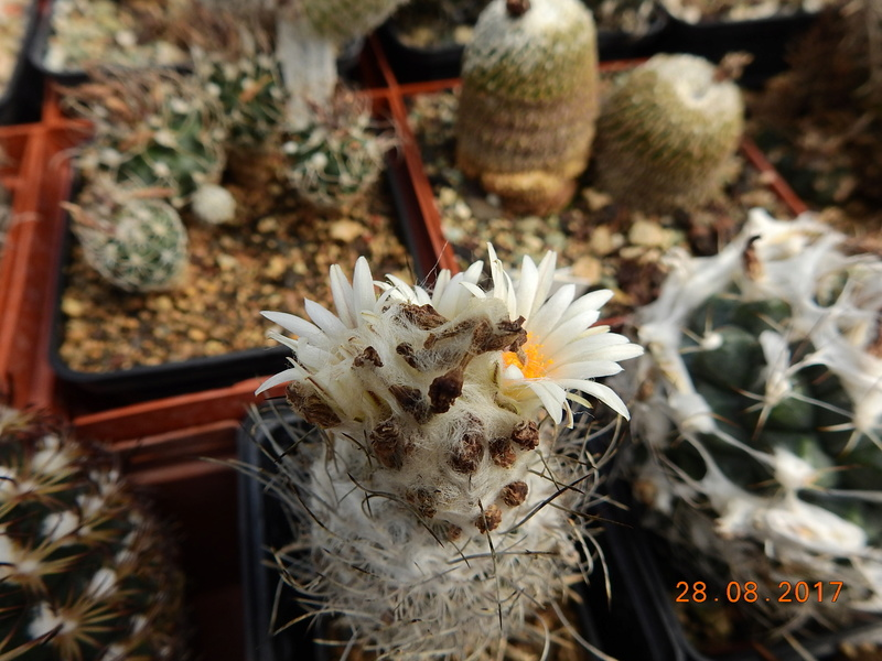 Cacti and Sukkulent in Köln, every day new flowers in the greenhouse Part 172 Bild2117