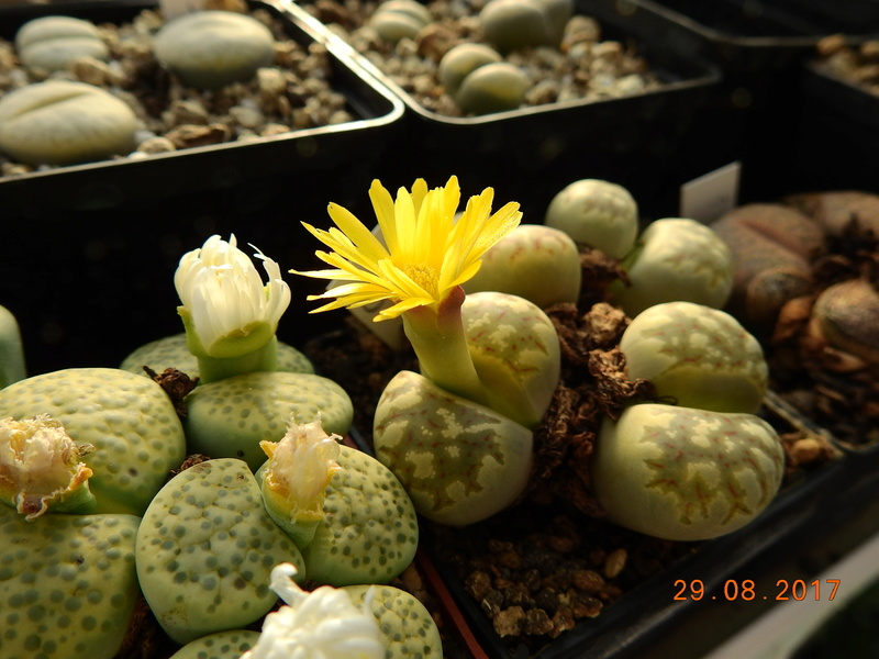 Cacti and Sukkulent in Köln, every day new flowers in the greenhouse Part 173 Bild2123