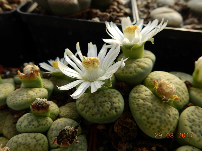 Cacti and Sukkulent in Köln, every day new flowers in the greenhouse Part 173 Bild2126
