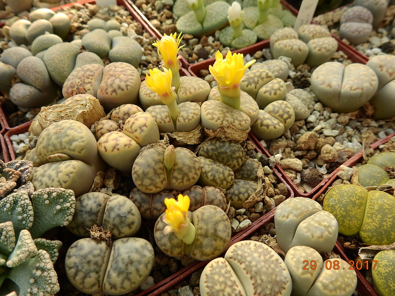 Cacti and Sukkulent in Köln, every day new flowers in the greenhouse Part 173 Bild2130