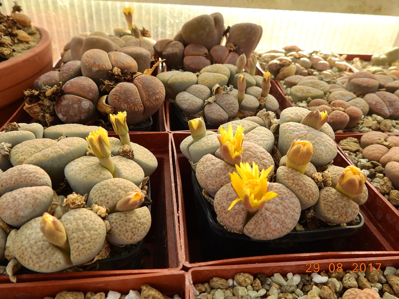 Cacti and Sukkulent in Köln, every day new flowers in the greenhouse Part 173 Bild2131