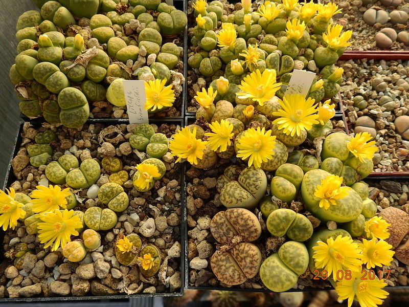 Cacti and Sukkulent in Köln, every day new flowers in the greenhouse Part 173 Bild2132
