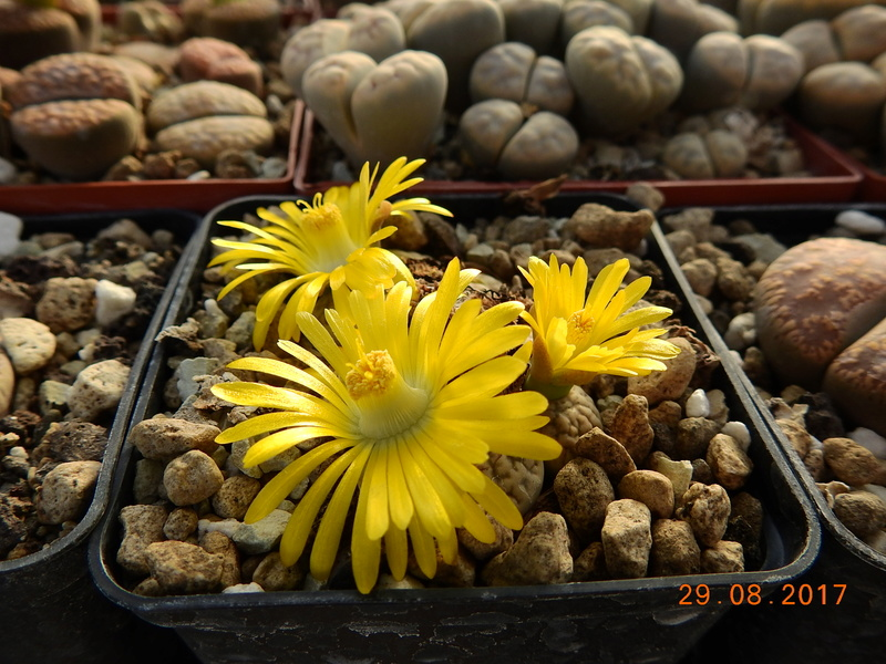 Cacti and Sukkulent in Köln, every day new flowers in the greenhouse Part 173 Bild2133