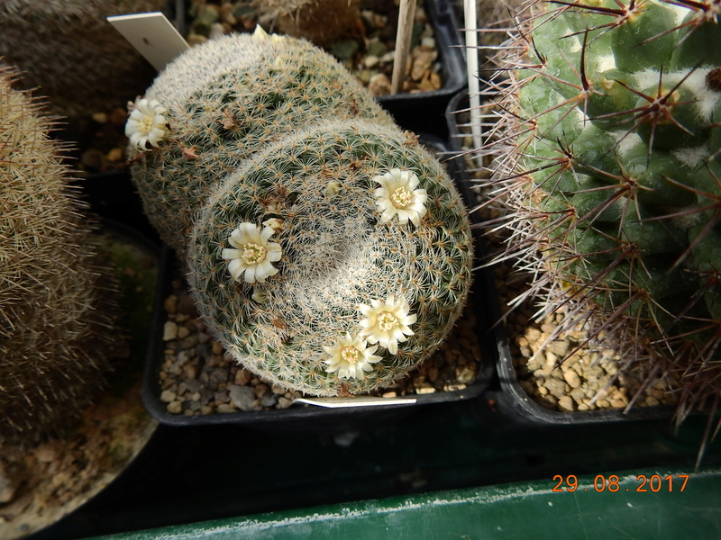 Cacti and Sukkulent in Köln, every day new flowers in the greenhouse Part 173 Bild2146