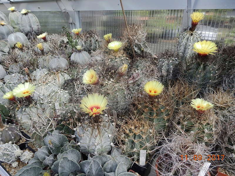 Cacti and Sukkulent in Köln, every day new flowers in the greenhouse Part 174 Bild2253