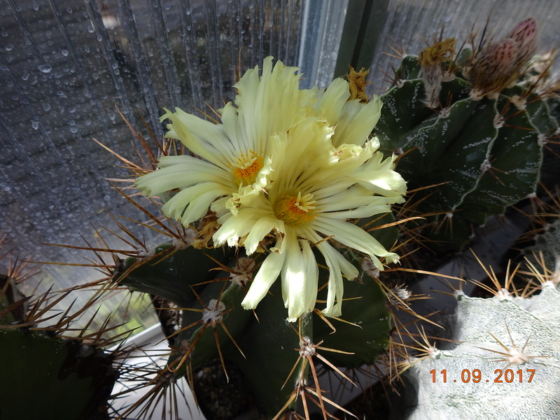 Cacti and Sukkulent in Köln, every day new flowers in the greenhouse Part 174 Bild2256