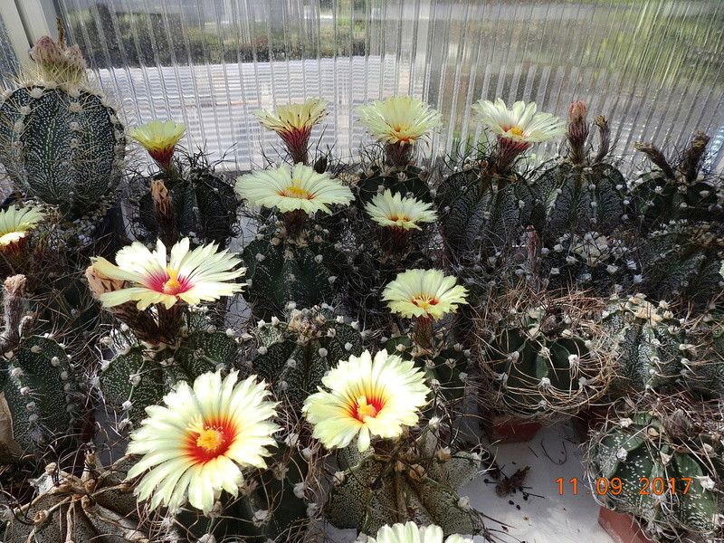 Cacti and Sukkulent in Köln, every day new flowers in the greenhouse Part 174 Bild2258