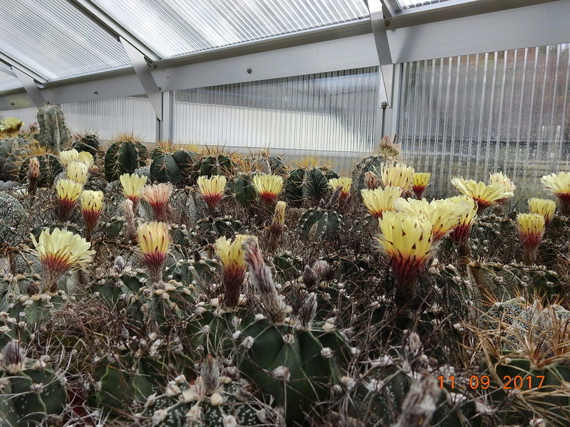 Cacti and Sukkulent in Köln, every day new flowers in the greenhouse Part 174 Bild2262