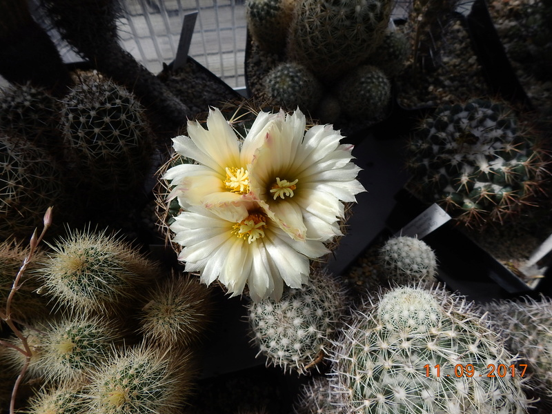 Cacti and Sukkulent in Köln, every day new flowers in the greenhouse Part 174 Bild2270