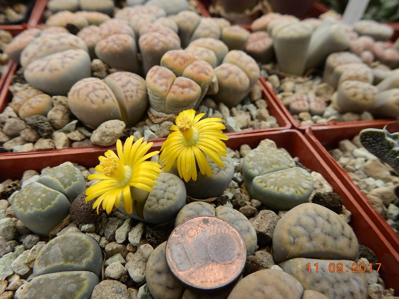 Cacti and Sukkulent in Köln, every day new flowers in the greenhouse Part 174 Bild2300