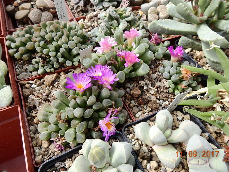 Cacti and Sukkulent in Köln, every day new flowers in the greenhouse Part 174 Bild2305