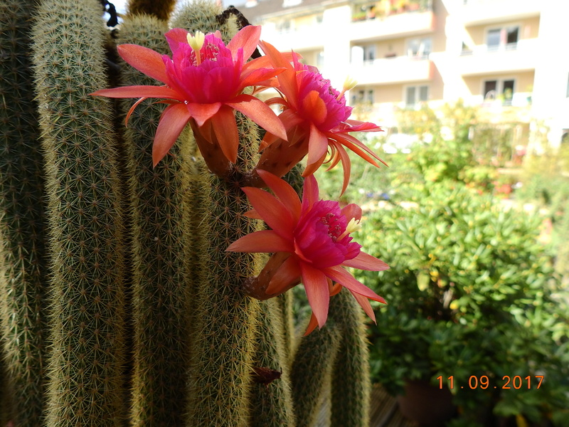 Cacti and Sukkulent in Köln, every day new flowers in the greenhouse Part 174 Bild2315