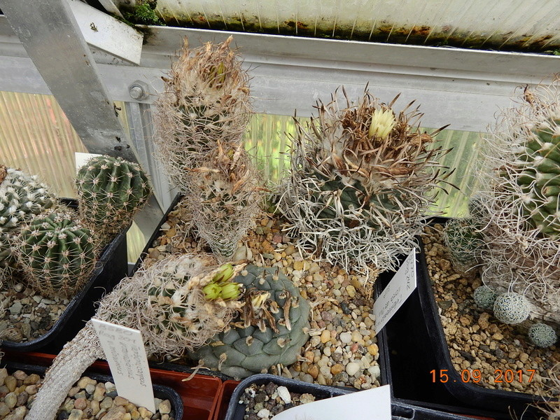 Cacti and Sukkulent in Köln, every day new flowers in the greenhouse Part 175 Bild2326
