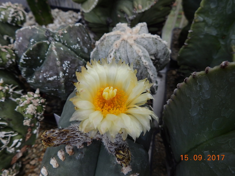 Cacti and Sukkulent in Köln, every day new flowers in the greenhouse Part 175 Bild2340