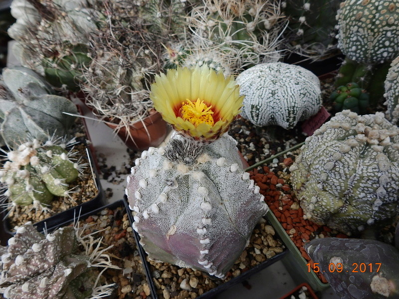 Cacti and Sukkulent in Köln, every day new flowers in the greenhouse Part 175 Bild2343
