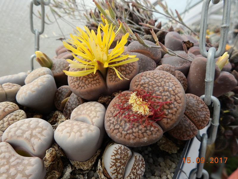 Cacti and Sukkulent in Köln, every day new flowers in the greenhouse Part 175 Bild2361