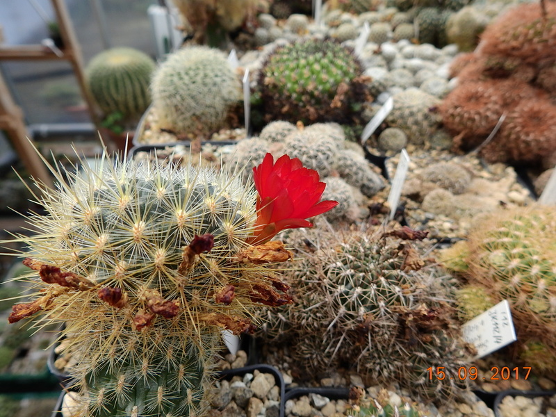 Cacti and Sukkulent in Köln, every day new flowers in the greenhouse Part 175 Bild2369