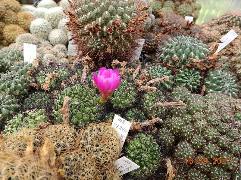 Cacti and Sukkulent in Köln, every day new flowers in the greenhouse Part 175 Bild2372