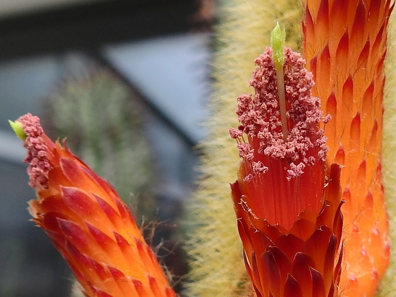 Cacti and Sukkulent in Köln, every day new flowers in the greenhouse Part 175 Bild2373