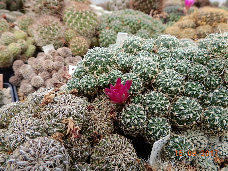 Cacti and Sukkulent in Köln, every day new flowers in the greenhouse Part 175 Bild2375