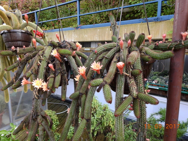 Cacti and Sukkulent in Köln, every day new flowers in the greenhouse Part 175 Bild2377