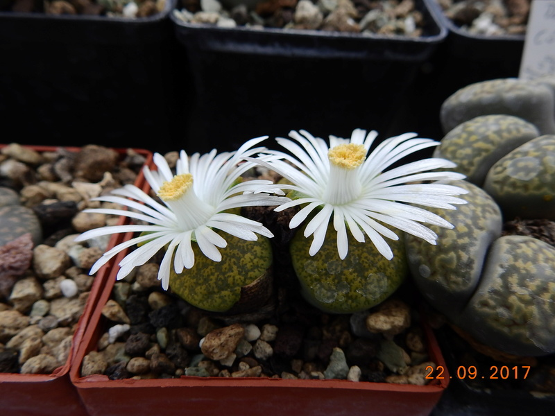 Cacti and Sukkulent in Köln, every day new flowers in the greenhouse Part 175 Bild2386
