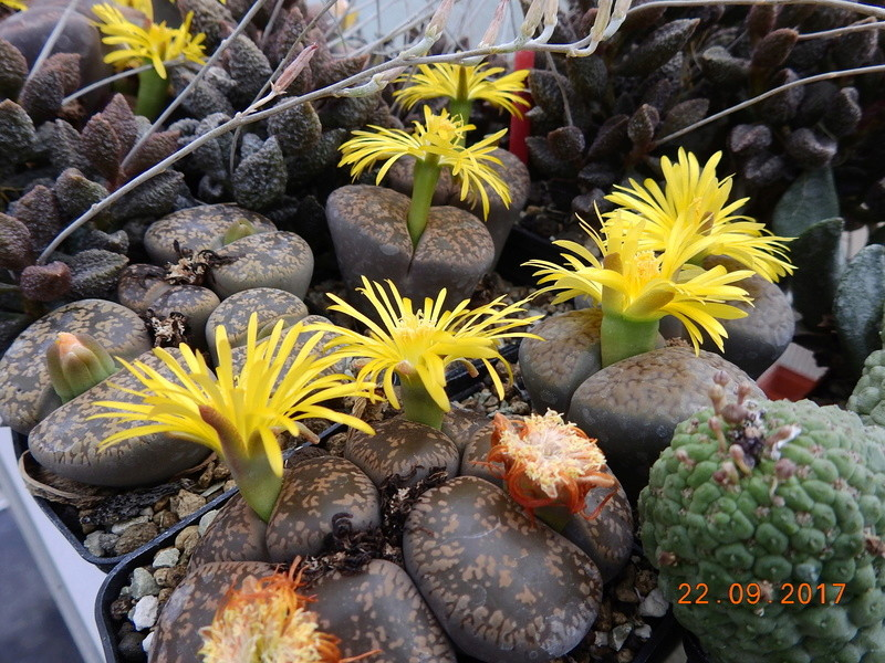 Cacti and Sukkulent in Köln, every day new flowers in the greenhouse Part 175 Bild2391