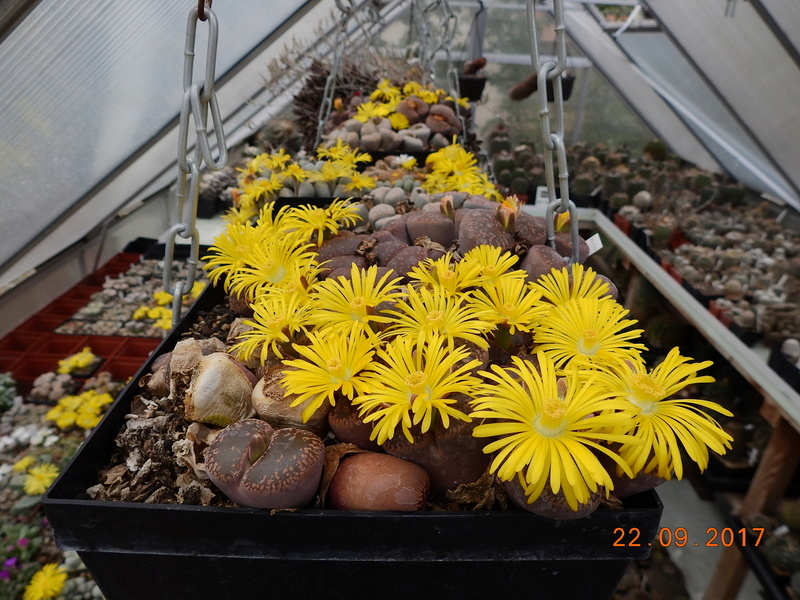 Cacti and Sukkulent in Köln, every day new flowers in the greenhouse Part 175 Bild2392