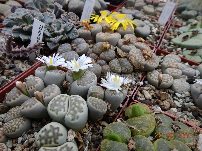 Cacti and Sukkulent in Köln, every day new flowers in the greenhouse Part 175 Bild2399