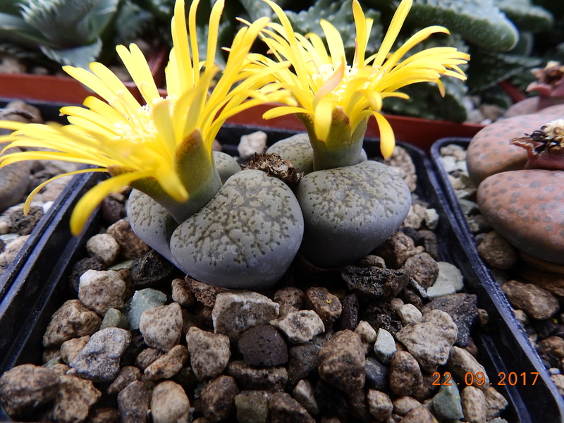 Cacti and Sukkulent in Köln, every day new flowers in the greenhouse Part 175 Bild2404