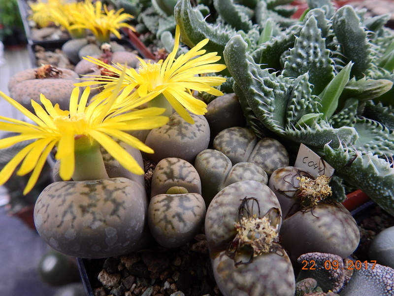 Cacti and Sukkulent in Köln, every day new flowers in the greenhouse Part 175 Bild2406