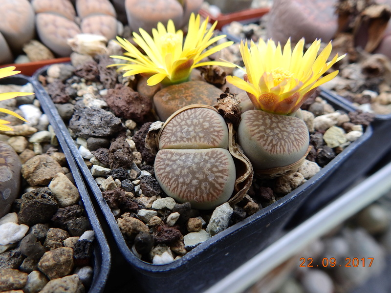 Cacti and Sukkulent in Köln, every day new flowers in the greenhouse Part 175 Bild2413